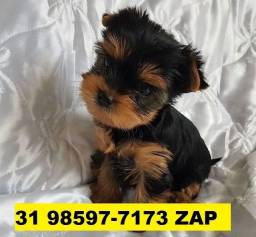 Canil em BH Cães Filhotes Top Yorkshire Beagle Bulldog Shihtzu Lulu Lhasa Maltês