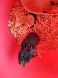 Título do anúncio: Doa-se hamster Sírio