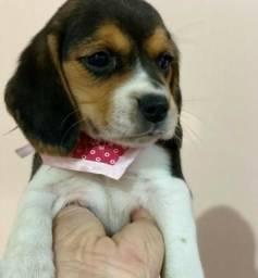 Beagle fêmea parcelamos em ate 12x