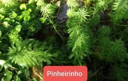 Título do anúncio: Plantas Aquáticas para aquário ou lagos