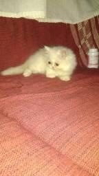 Uma linda filhote de gato persa branca