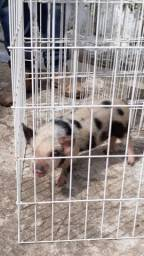 Mini pigs - Micro pigs