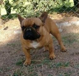 Bulldog Francês para cruzamento natural