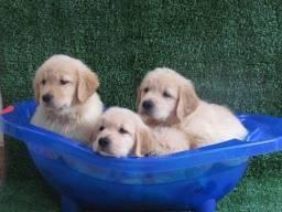 Título do anúncio: Filhotes de golden retriever ótimo padrão com recibo de compra e venda