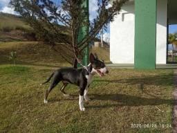 Bullterrier Macho para Cruza/Cobertura