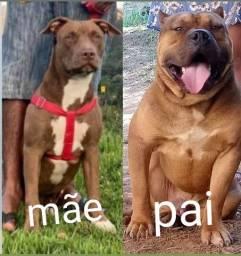 Título do anúncio: Cachorro de raça Pitbull
