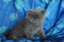 Lindo persa exotico macho blue