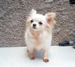 Jovem casal de Chihuahua a venda
