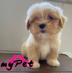 Lhasa Apso com pedigree