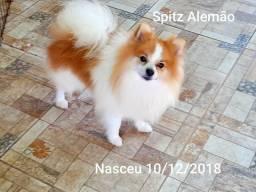 Spitz Alemão macho Lulu da Pomeranea color lindo idade 11 meses