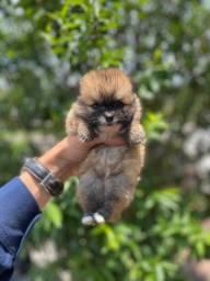 Lulu da Pomerania raposinha - Lindo filhote e você recebe c/ totl garantia de saúde