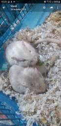 Vendo 2 Gerbis brancas de olhos rosa fêmeas de 3 meses e um topodongo