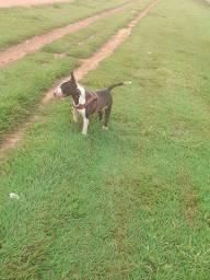 Bull Terrier  disponível  pra cobertura