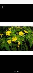 Título do anúncio: Muda de Flor Bela da noite