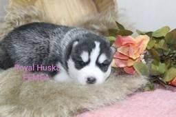 Lindas Fêmeas de Husky Siberiano Disponível para Reserva