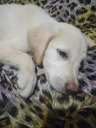 Filhote de Labrador Macho Lindo Até 12 X No Cartão