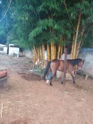 Cavalo quarto de milha sem resistro idade cinco anos