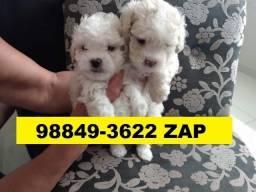 Canil Filhotes Belos Cães BH Poodle Yorkshire Bulldog Pug Lhasa Shihtzu Maltês