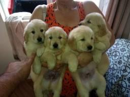 Filhotes de procedência com pedigree e assistência veterinária