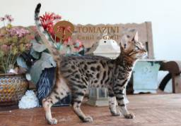 Bengal (Mini leopardo asiático)