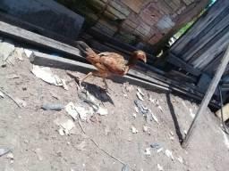 Vendo uma franga e um frango moura