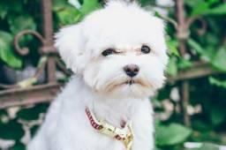 Quero cachorros shih tzu ou maltes pode ser misturado