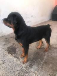 Procuro Rottweiler fêmea para cruzar