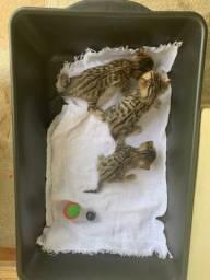 Filhotes de gato bengal fêmea