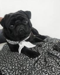Pug Macho procura namorada
