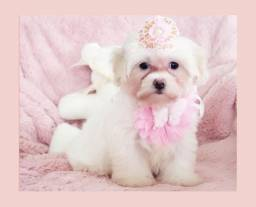 Filhote de maltês fêmea à pronta entrega, imperdível! Namu Royal Pet Store!