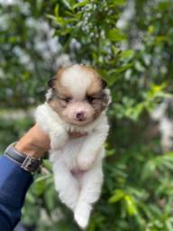 O mais belo filhote de Lulu da Pomerania part collor - Ligue e ti entrego ainda hoje
