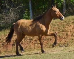 Cavalo castrado super manso parcelado