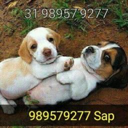 Título do anúncio: Beagle com pedigree.