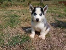 Título do anúncio: Husky siberiano filhotes lindos