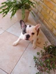Título do anúncio: Bulldogue Francês fêmea