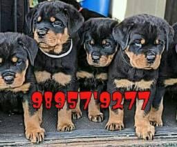 Título do anúncio: Rottweiler com pedigree
