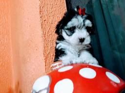 Fêmea d Poodle mini toy preta e branca