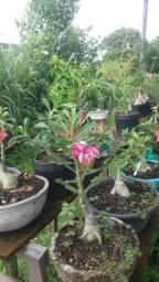 mudas de rosas do deserto)