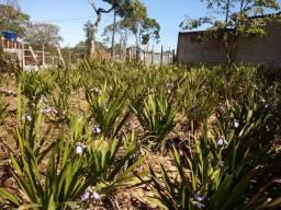 Roça de plantação de flor íris