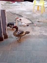 Um pato e três pata