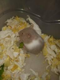 Hamsters anão russo e sírio