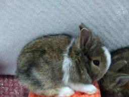 Filhotes de mini coelhos