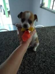 Pinscher com Chihuahua