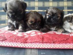 Vendo machinhos Lhasa Apso
