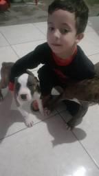 Vendo filhotes de American bully misturado com pitbull