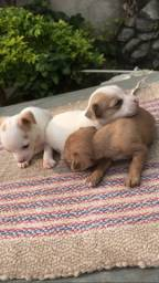 Título do anúncio: Maravilhosos filhotinhos Pinscher 0