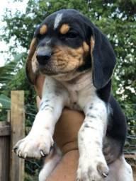 Beagle com americano