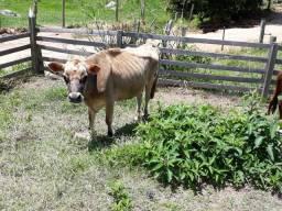 Vacas gersey e tres novilhas