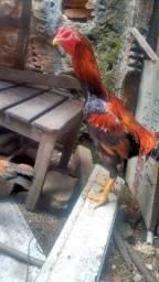 Casal de frango índio gigante