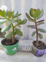 Suculentas Mini jades.